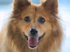 Hi! (lenswrangler) Tags: digikam rawtherapee lenswrangler dog flickrfriday firstimpression smile happy animal pet brown canine tongue nose eyes fur