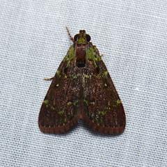 Epipaschiinae sp. (Pasha Kirillov) Tags: moth lepidoptera sarawak malaysia borneo pyralidae epipaschiinae gununggading taxonomy:order=lepidoptera taxonomy:family=pyralidae geo:country=malaysia