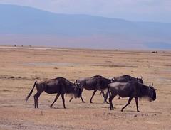 Tanzania (Ngorongoro Crater) Gnus (Wildebeests)