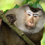 Northern Pig-tail Macaque, Macaca leonina in Khao Yai national park thumbnail
