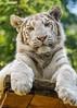 White Tiger Cub (Jasper Gielen) Tags: portrait zoo cub nikon tiger porträt tierpark portret tijger tigre whitetiger dierentuin 80400mm dierenpark pantheratigris felidae amnéville félidés wittetijger tigreblanco tigreblanc zoodamnéville d5300