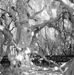 Bayard Cutting Arboretum (a.lower.photo) Tags: film nature mediumformat landscape hasselblad naturephotography infraredfilm bayardcuttingarboretum filmisnotdead believeinfilm