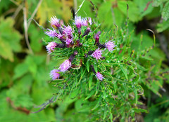 thistilKo-Ibuki-azami (qooh88) Tags: cirsium asteraceae perennial   mtibuki    carduoideae    thistil cirsiumconfertissimum koibukiazami