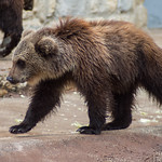 Brown bears thumbnail