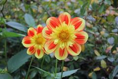 525 LA TIMIDE SHY (rustinejean) Tags: flower nature fleur n rustine
