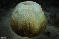 _MG_3493-16032015-Romblon copia (azotati2011) Tags: underwater romblon filippine