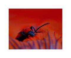 Beetle - Kfer (tangoed) Tags: macro nature animals tiere natur beetle insects makro insekten kfer