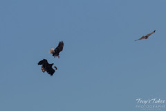 Bald Eagles Battle in the Air - 1 of 12