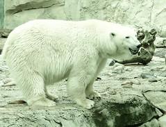 Lales Mom (BrigitteE1) Tags: bear germany de zoo polarbear bremerhaven zooammeer ijsbeer bär 北極熊 eisbär ursusmaritimus シロクマ oursblanc shirokuma polarbär nanuq weis isbjørn ursopolar osopolar jääkaru 白熊 jegesmedve orsopolare jääkarhu specanimal kutupayısı 북극곰 nanoq ísbjörn urspolar белыймедведь niedźwiedźpolarny medvědlední běijíxióng ᓇᓄᖅ polarnimedvjed baltasislokys πολικήαρκούδα polārlācis ᐧᐋᐸᔅᒄ waapaskw polikíarkúda bukgeukgom äisbier belimedved medveďbiely lalesmom