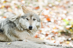 Fall Wolf (Mark Dumont) Tags: animals mammal zoo wolf mark cincinnati mexican dumont specanimal