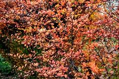 Autumn colors 3218 (stranger_bg) Tags: new flowers blue autumn light red sun plant tree green nature colors yellow gold photo nikon photos sofia outdoor pastel magic ngc picture foliage bulgaria blanche feery nikonflickraward strangerbg