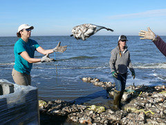 Bagged Shell in Action (U. S. Fish and Wildlife Service - Northeast Region) Tags: newjersey sandy volunteers erosion partnership saltmarsh usfws thenatureconservancy oysterreef oysterbags gandysbeach oystercastles coastalresilience hurricanesandy strongaftersandy