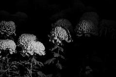 Stand tall (Evacamillas) Tags: autumn summer blackandwhite bw white black flower japan 35mm dark tokyo nikon shrine chrysanthemum meijijingu d7100 nikond7100