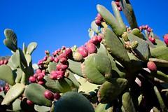 Cactus Garden (alexispadilla) Tags: california travel cactus nature cacti garden berkeley bayarea pricklypear succulents nopal nopales tunas universityofcaliforniabotanicalgardenatberkeley
