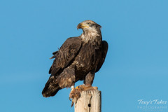 Bald Eagle keeps watch while eating