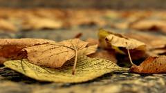 Querido Diciembre. (Lucia Cortés Tarragó) Tags: hojas autum free otoño marron