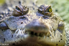 Philippine Crocodile (m_hamad) Tags: park portrait usa nature closeup canon zoo washingtondc washington indoor crocodile nationalzoo 70300mm reptiles washdc nationalgeographic greatnature supershot ultimateshot philippinecrocodile mindorocrocodile 7dmkii instagramapp bukarot