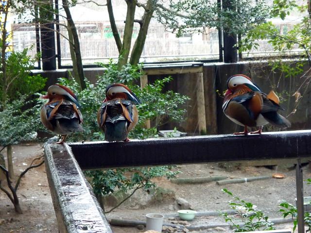 カメラ目線のオシドリたち。|いしかわ動物園