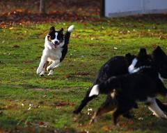 2016_12_03_268 (Xavier_Claise) Tags: dog chien berger sheperd australien tricolore chiot