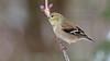 Chardonneret jaune_070A5749 (d.jauvin) Tags: chardonneret fringillidés oiseaux