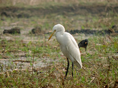 Egret | সাদা বক (Md. Sohanul Haque (শান্ত)) Tags: বক পাখি birds bird egret
