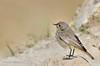 Redstart (Esmaeel Bagherian) Tags: دمسرخ پرندگانایران پرندهنگری اسماعیلباقریان پرندگان 2016 1395 نیکون تامرون حیاتوحشایران esmaeelbagherian bird birdsphotography birds birdwatching birdsofiran redstart nikon nikond7000 tamron tamron150600