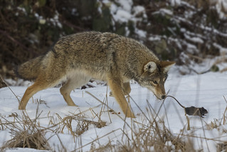 Coyote and prey