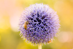 bee ball (JimfromCanada) Tags: echinops bee sun ball blue gardenglow pollen collect beautiful peaceful pollinate glow outdoor warm yellow flower bloom star