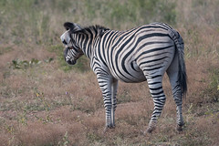 DSC_5149 (mylesm00re) Tags: africa buphaguserythrorhynchus burchellszebra equusquaggaburchellii limpopo redbilledoxpecker rooibekrenostervoel welgevondengamereserve za bird mhondorogamelodge sebra southafrica waterhole zebra