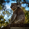 Koala (phunnyfotos) Tags: phunnyfotos australia victoria vic centralvictoria koala wildlife fauna sitting looking animal nikon d750 nikond750