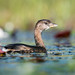 Impression of a Grebe