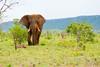 (amoolani) Tags: d7100 teamnikon nikon summer gamedrive bigfive elephant nationalparks kruger steveperry krugernationalpark hazyview southafrica lonelyplanet wildlifephotography wildlife