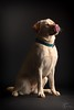 Onyx (Jansen, Robert) Tags: nikon d800 studio labrador guidedog blindengeleidehond blind bghsg pup hond elinchrom brx500 octa belgie belgium lommel