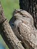 Marbled Frogmouth (Podargus ocellatus) (Arturo Nahum) Tags: aves birdwatcher bird birds pajaros australia marbledfrogmouth podargusocellatus