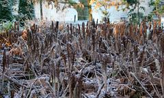 19-IMG_7623 (hemingwayfoto) Tags: botanischergarten farn münsterwestf matteucciastruthiopteris pflanze raureif strausfarn westfalen