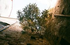 Tree in Wall (Beny Shlevich) Tags: jerusalem israel film nikoneos3 oldcity tree urbannature