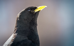 Freedom in its Eyes (mr.martino) Tags: nature chough alps mountain wildlife pngp granparadiso bird