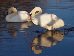 2016_12_0571 (petermit2) Tags: muteswan swan clumberpark clumber sherwoodforest sherwood nottinghamshire nationaltrust nt