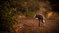 african wilddog looking for food (soundmoods) Tags: africanwilddog twilight africa hunt light shining bush canon 6d 70300l