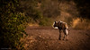 african wilddog looking for food (soundmoods) Tags: africanwilddog twilight africa hunt light shining bush canon 6d 70300l