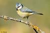 Herrerillo Comùn (rubinat) Tags: animales aves naturaleza fauna birds bird nikon nikonistas natura naturanaturaleza nature pajaros