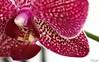 orchidéesse (ju.labs) Tags: orchidée 100mm canon canon70d purple violet jaune yellow vert plante fleur flower map focus bokeh wow finegold interieur inside composition