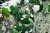 little winter feeling (Janne Fairy) Tags: winter leafs leaf green snow white schnee canon canon500d eos500d mauer wall season ice eis