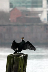 IMG_3888a (Time Grabber) Tags: timegrabber cardiffbay southwales freshwaterbay cormorant