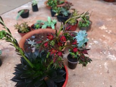IMG_20170303_065833 (Rodrigo Ribeiro) Tags: flower flor jardim jardinagem garden gardening nature natureza red vermelho suculenta
