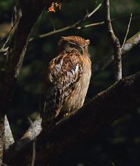 Brown Fish-Owl (RedAbbott) Tags: brownfishowl ketupazeylonensis