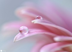 Just the two of us (Trayc99) Tags: water drops droplets pink floralart flower petals delicate decorative softness beautyinnature beautyinmacro beautiful