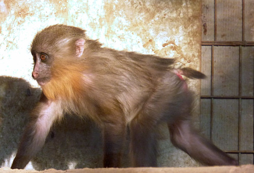 Paphos Zoo - mandrill (3)