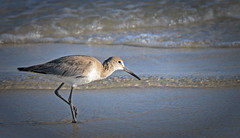 PICKING THROUGH THE SURF (Wolf Creek Carl) Tags: water ocean beach dauphinisland shore shorebirds nature outdoors alabama