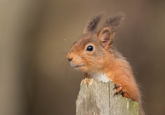 Red Squirrel (mariajames414) Tags: red animal mammal squirel